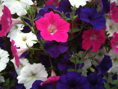 white pink purple petunia
