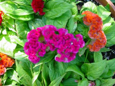 Jewel Box Mix crested celosia